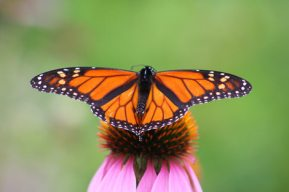 monarch-20butterfly-202.jpg